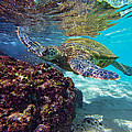 Maui Turtle by James Roemmling