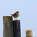 Meadow Pipit by Louise Heusinkveld