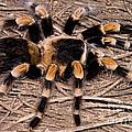 Mexican Red-legged Tarantula by Dante Fenolio