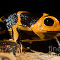 Mimic Poison Frog by Dant� Fenolio