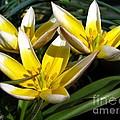 Mini Botanical Tulip Named Dasystemon Tarda by J McCombie