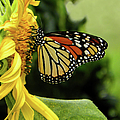 Monarch And The Sunflower by Sandi OReilly