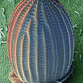 Monarch Butterfly Egg, Sem by Ted Kinsman