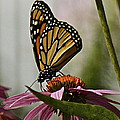 Monarch Butterfly by Suanne Forster
