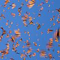 Monarch Danaus Plexippus Butterflies by Ingo Arndt