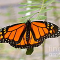 Monarch Majesty by Johanne Peale