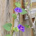 Morning Glories by Jim Beattie