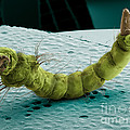 Mosquito Larva, Sem by Ted Kinsman