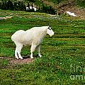Mountain Goat by Greg Norrell
