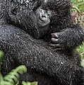 Mountain Gorilla And Infant by Tony Camacho