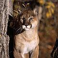 Mountain Lion by Natural Selection David Ponton