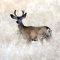 Mule Deer Buck by Steve McKinzie