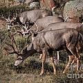 Mule Deer Bucks by Ronald Lutz