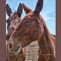 Mule Wink by Debbie Portwood