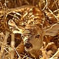 Newly Born Fawn Hiding In A Saskatchewan Field by Mark Duffy
