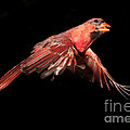 Northern Cardinal In Flight by Ted Kinsman