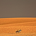 Northern Pintail Pair Out Walking In Saskatchewan Field by Mark Duffy