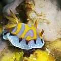 Nudibranch by Georgette Douwma