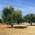 Olives Tree In Provence by Bernard Jaubert