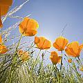 Orange Poppies by Craig Tuttle