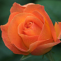 Orange Rose by Chris Day