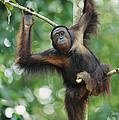 Orangutan Pongo Pygmaeus Adult Sitting by Cyril Ruoso
