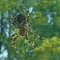 Orb Spider      Summer           Indiana by Rory Cubel