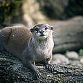 Oriental Small-clawed Otter by Linda Wright