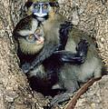 Orphaned Guenons by Tony Camacho