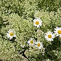 Ox-eye Daisies (leucanthemum Vulgare) by Bob Gibbons