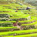 Paddy Rice Fields by MotHaiBaPhoto Prints