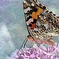 Painted Lady Butterfly by Betty LaRue