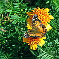 Painted Lady Butterfly  by Nancy Patterson