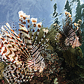 Pair Of Lionfish, Indonesia by Todd Winner