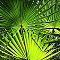 Palmettos by Theresa Willingham