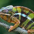 Panther Chameleon Chamaeleo Pardalis by Ingo Arndt