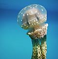 Papuan Jellyfish Mastigias Papua, Palau by Hiroya Minakuchi