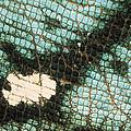 Parsons Chameleon Calumma Parsonii by Ingo Arndt