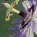 Passion Flower by Archie Young