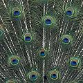 Peacock Feathers by Greg Vaughn - Printscapes