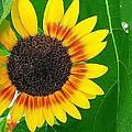 Peeping Sunflower by Vickie Beasley