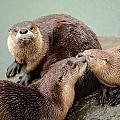 Pelican Creek Otter Family by Amy Gerber