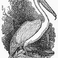 Pelican by Granger