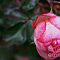 Peppermint Rose by Susan Herber