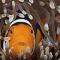 Percula Clownfish In Its Host Anemone by Terry Moore