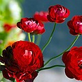 Persian Buttercups (ranunculus Asiaticus) by Dr Keith Wheeler