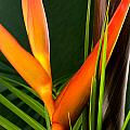 Photograph Of A Parrot Flower Heliconia by Perla Copernik