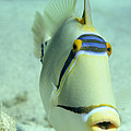 Picasso Triggerfish by Georgette Douwma