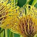 Picture Of A Pincushion Protea by Perla Copernik
