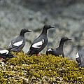 Pigeon Guillemot Cepphus Columba Group by Konrad Wothe